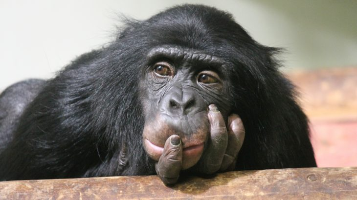 A new study suggests that great apes have a theory of mind which allows them to acknowledge the beliefs, emotions, intentions, and desires of themselves and others.