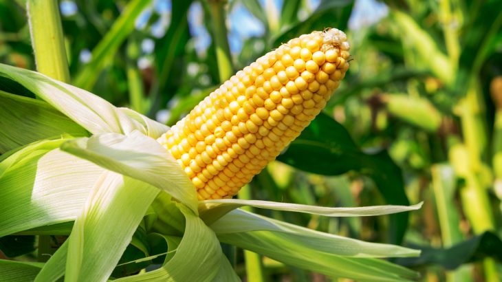 A new study led by the University of Illinois (U of I) has investigated the impact that rising ozone levels may have on corn plants.