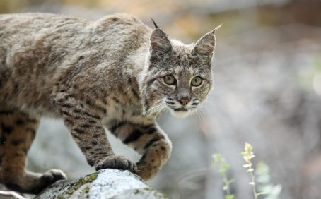 Bobcats live in every state of the contiguous United States except Delaware, as well as southern Canada and much of Mexico.