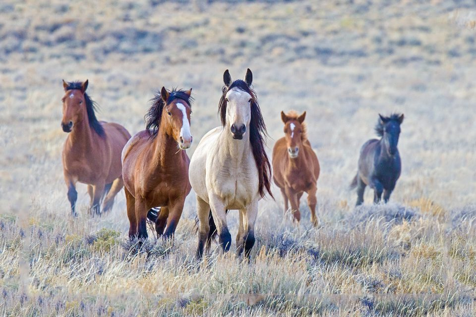 Government plan to manage wild horse populations comes under fire