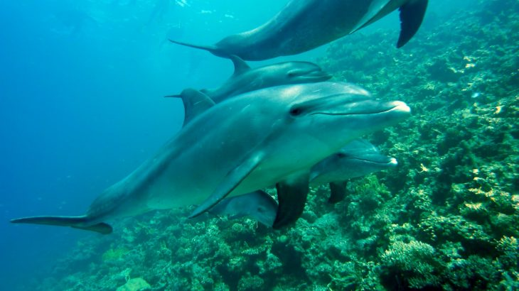 4 dolphins swimming together near a reef
