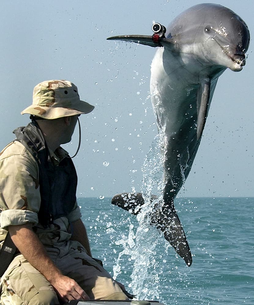 A dolphin with a device on its flipper jumping out of the water by a man in camo.