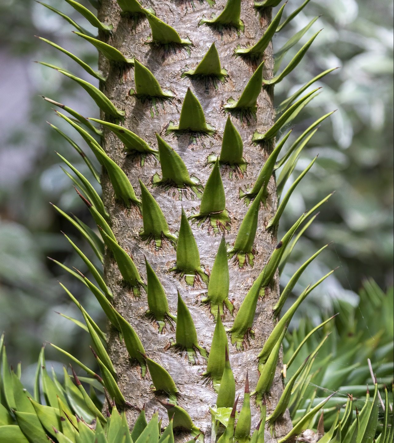Monkey Puzzle Tree spikes