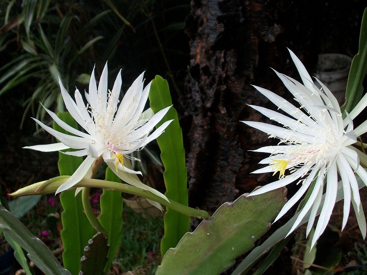 cereus cacti
