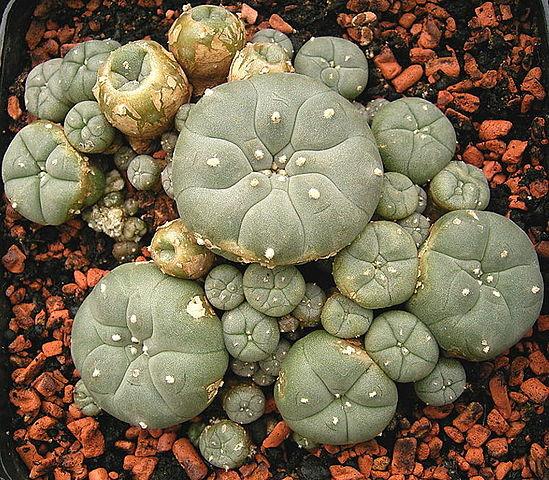 peyote cacti