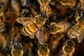 pollinator bees