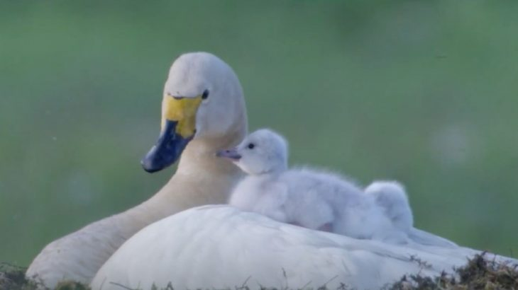 Over the last 50 years, the wintering grounds for Bewick's swans has shifted east by hundreds of kilometers, or nearly 13 kilometers per year, in northwestern Europe.