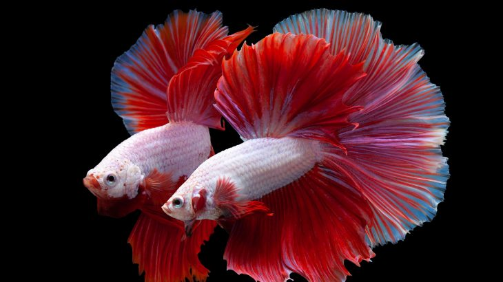 In a new study published by PLOS, experts have discovered that the movements of betta fish become synchronized when they fight.