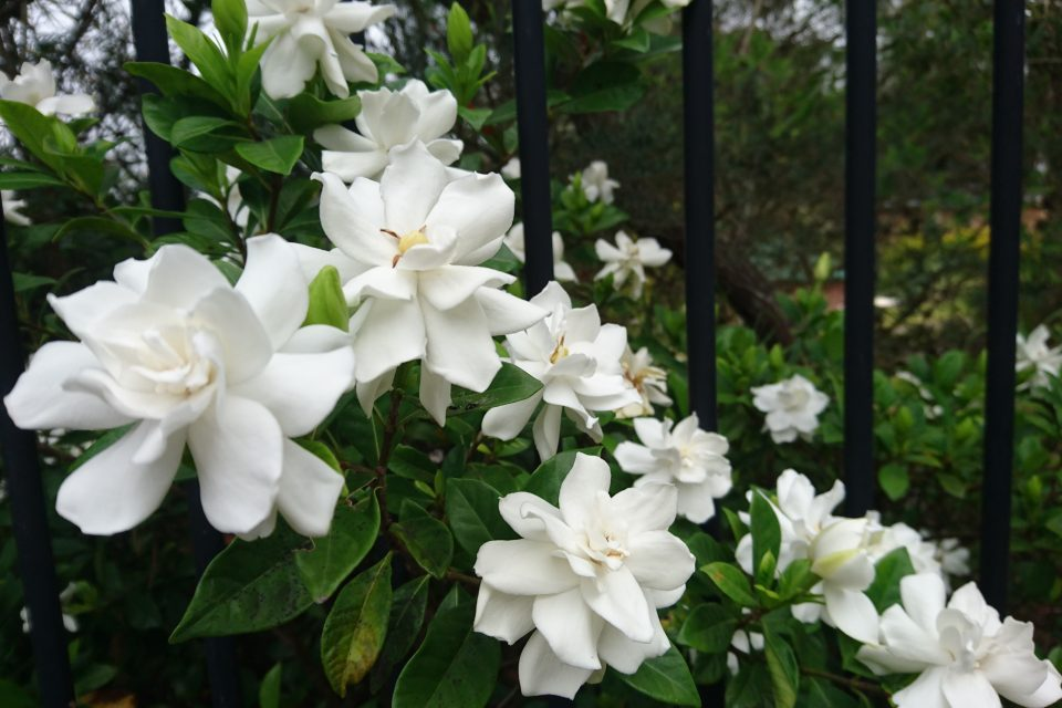 The research was focused on the first-ever genome sequence of Gardenia jasminoides, an evergreen shrub with white flowers that grows wild in tropical climates.