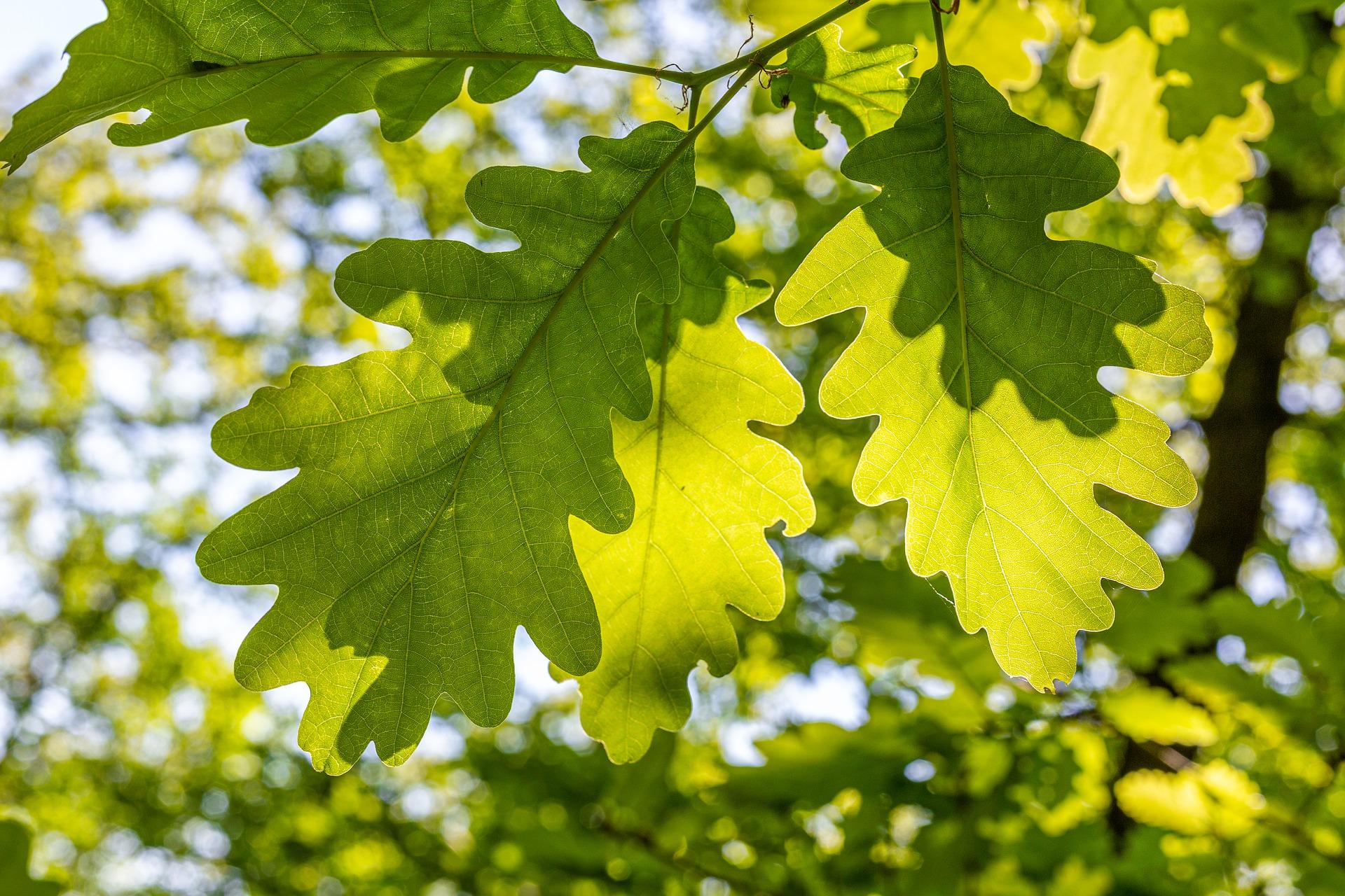 tree leaf identification; Oak leaves