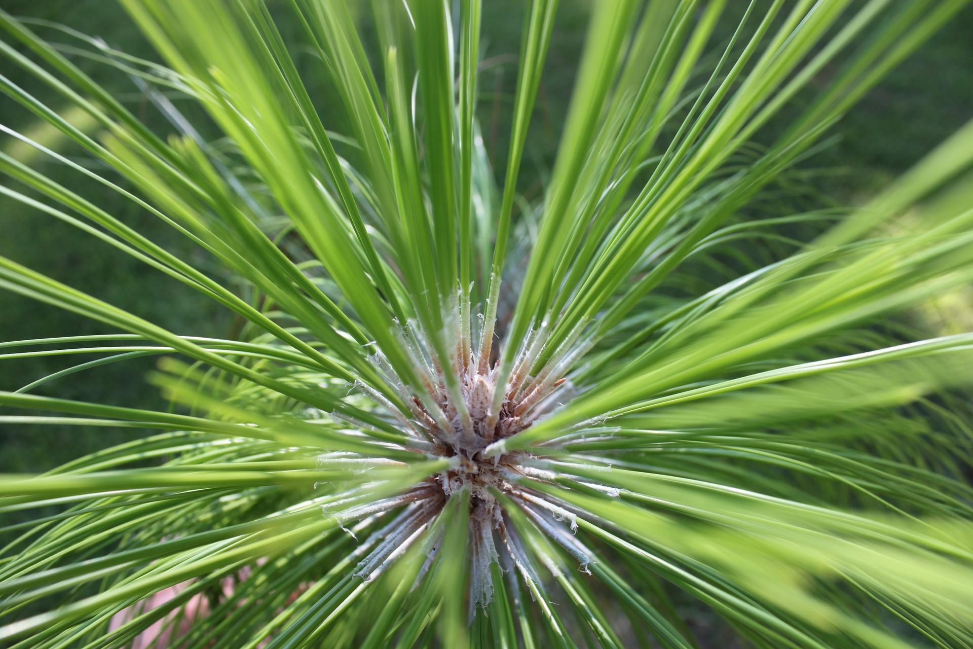 tree leaf identification; Longleaf Pine
