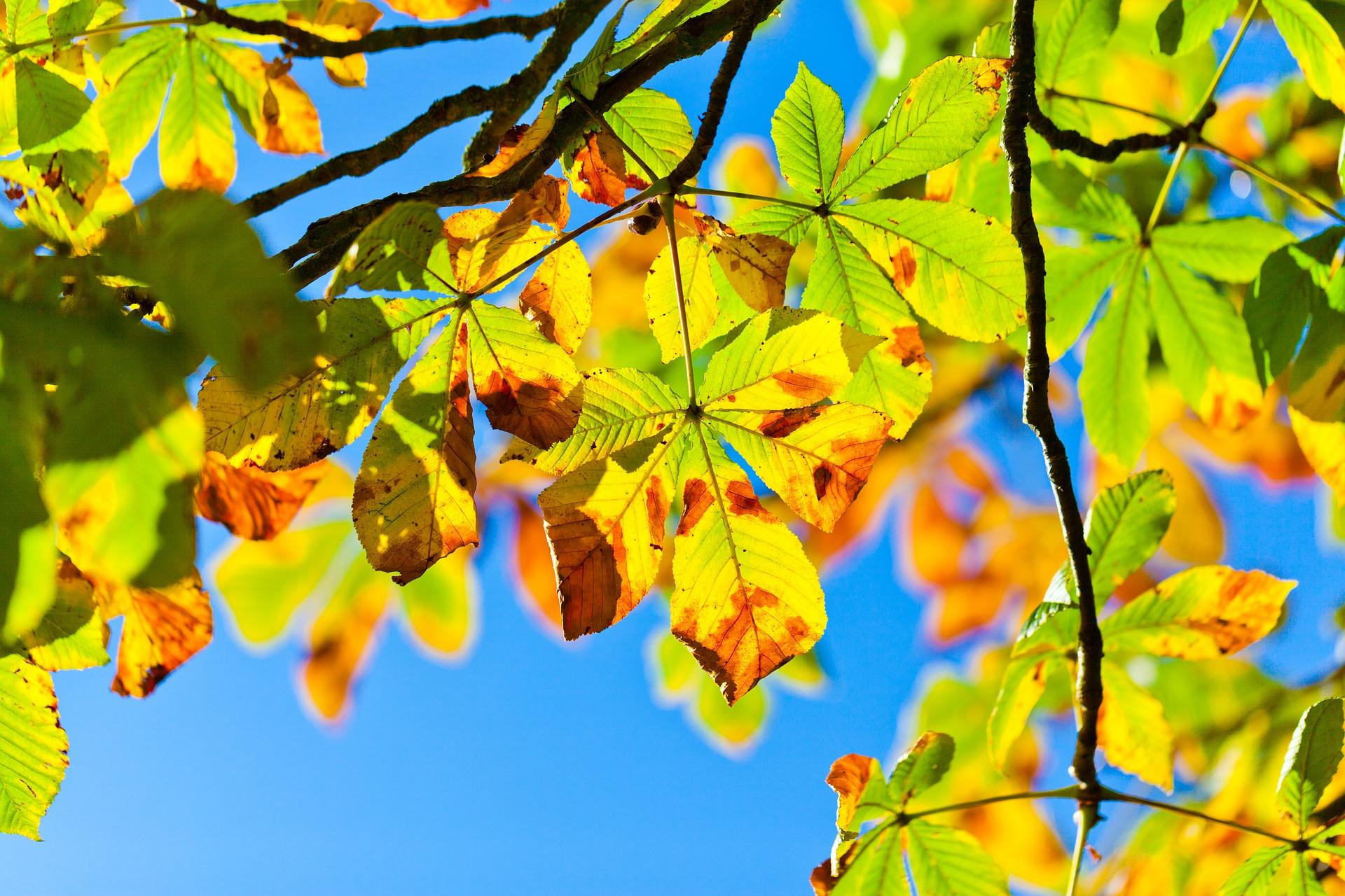 tree leaf identification; Chestnut Tree