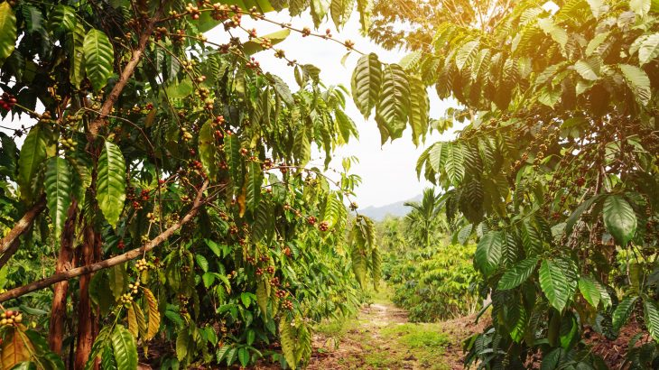 In a new study from the International Center for Tropical Agriculture, experts have discovered that the optimal temperature range for robusta coffee production is much lower than previously thought.