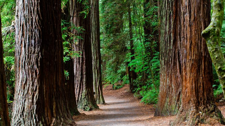 In a new study led by Arizona State University (ASU), scientists have investigated the climate sensitivity of California's coastal redwoods, some of the tallest and oldest trees on the planet.