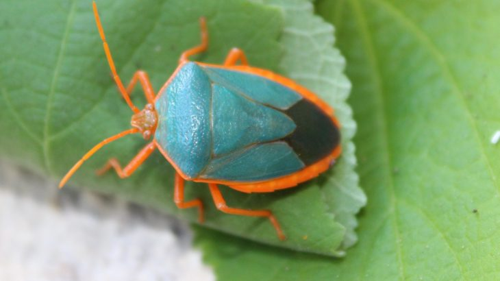 Shield bugs transform into different colors throughout their lives to avoid predators, according to a new study from the University of Melbourne.