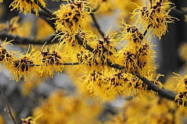 witch hazel flower tree winter