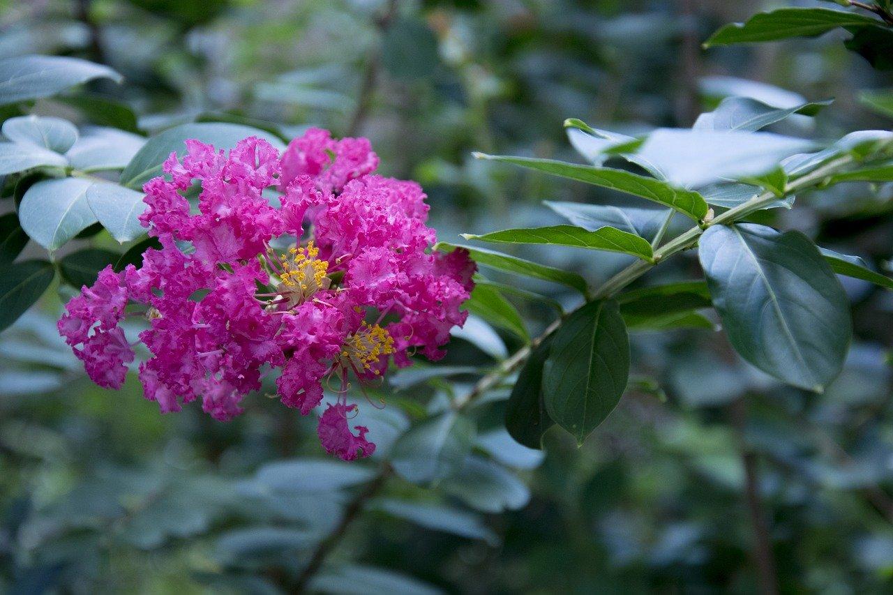 crepe crape myrtle flower tree