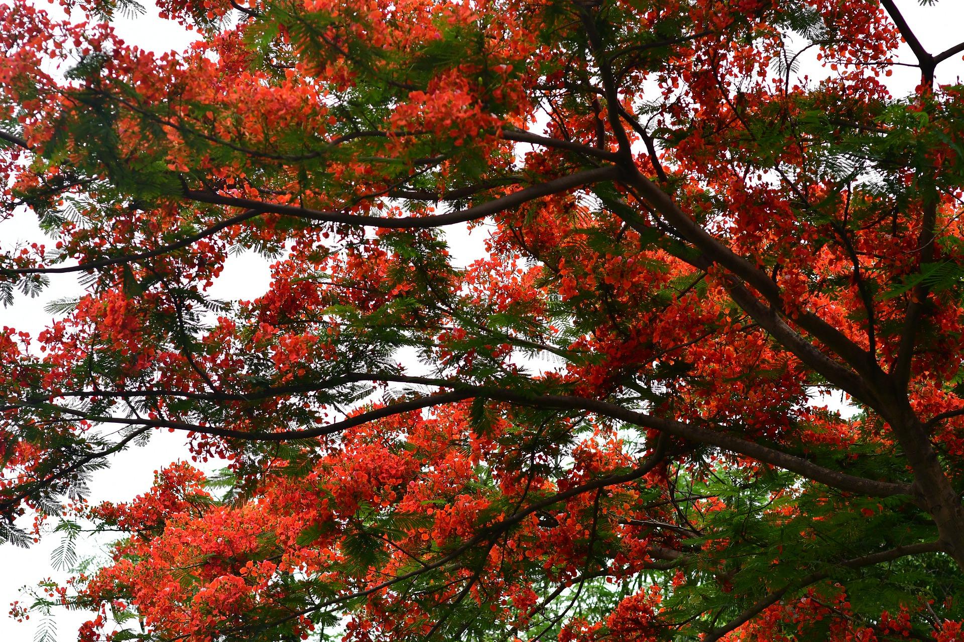 flamboyant flame tree flower
