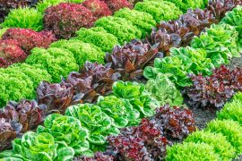 Researchers at the University of Delaware have discovered that wild strains of salmonella can evade a plant's immune defenses by invading the leaves through the stomata.