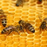 A new study may help to unravel this mystery, showing that aggressive behavior among honey bees is primarily influenced by the genetic traits of the hive as a whole, rather than by the DNA of individual bees.