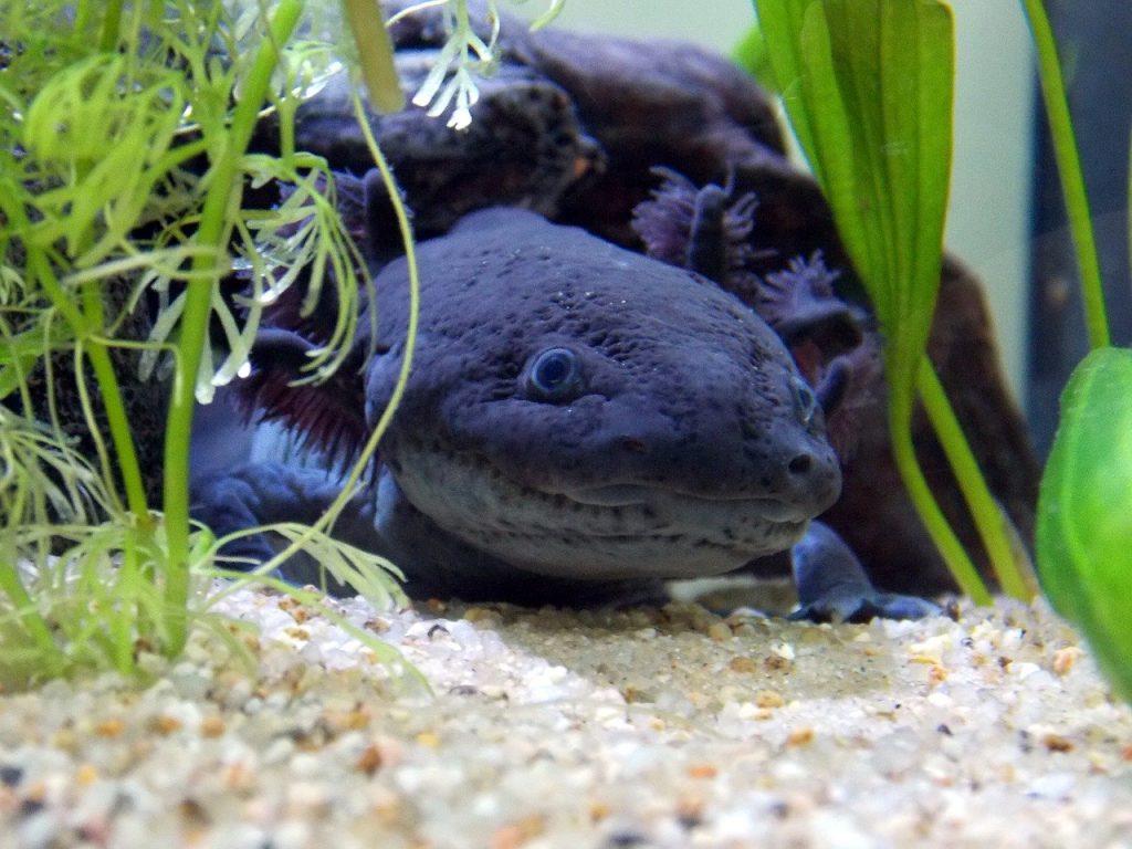 axolotl blue
