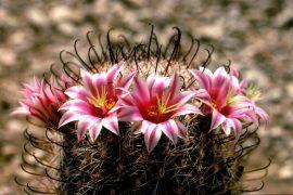 mammillaria grahamii fishhook cactus
