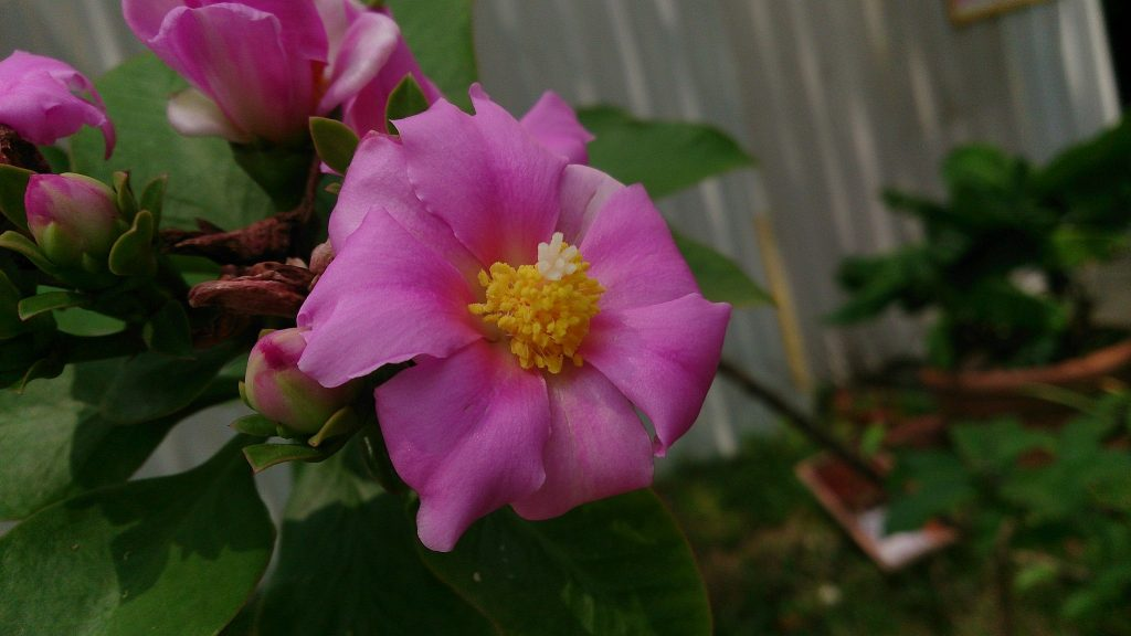 Rose Cactus Flower