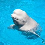 A new study from Florida Atlantic University has revealed that beluga whales form complex social networks that extend beyond family members.