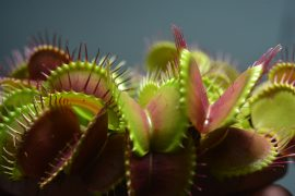 The mechanism used by Venus flytraps to catch spiders and insects is activated when its leaves are touched twice within 30 seconds.