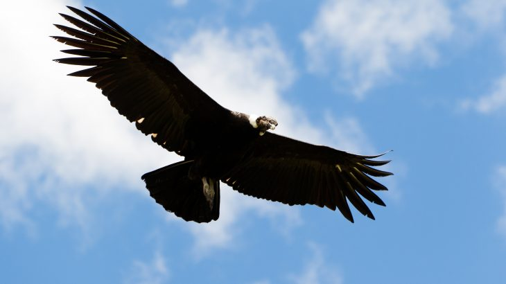 The researchers discovered that the world's heaviest soaring bird, the Andean condor, only flaps its wings for one percent of the time spent flying.