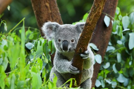 Today's Video of the Day from the Queensland University of Technology (QUT) describes a new method for estimating the number of surviving koalas in areas affected by the 2019-2020 Australian bushfires.