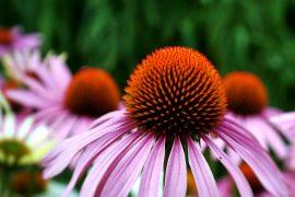 echinacea, grassland wildflowers