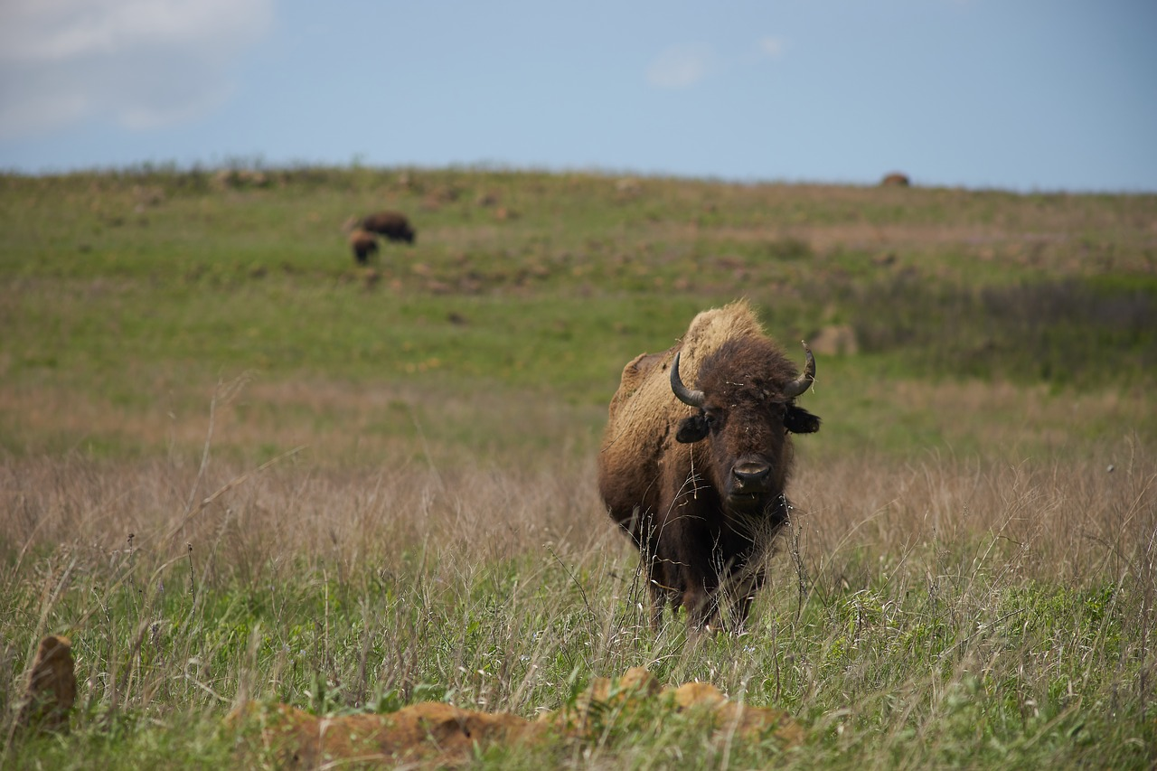 bison, grassland