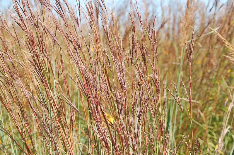 Big bluestem, prairie plants