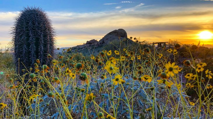 A new study from the University of Utah has found that one shrub in the Mojave Desert, the brittlebush, is exceptionally talented when it comes to adaptation.