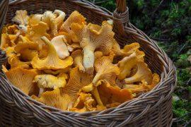chanterelle mushroom gourmet wild basket