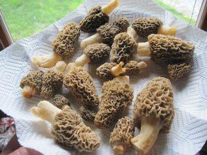 morel mushroom gourmet wild