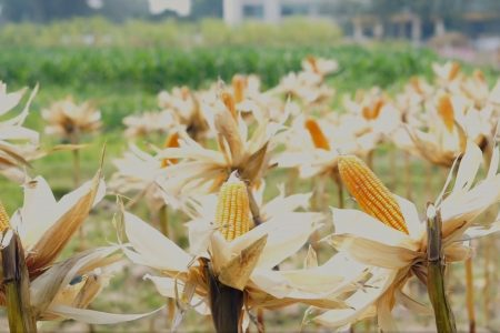 Today's Video of the Day from the University of Missouri describes how scientists in the College of Engineering led by Bill Buttlar are helping to fight the spread of COVID-19 using high quality ethanol from corn.