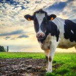 The research may ultimately improve farm management practices and create healthier living environments for dairy cows.