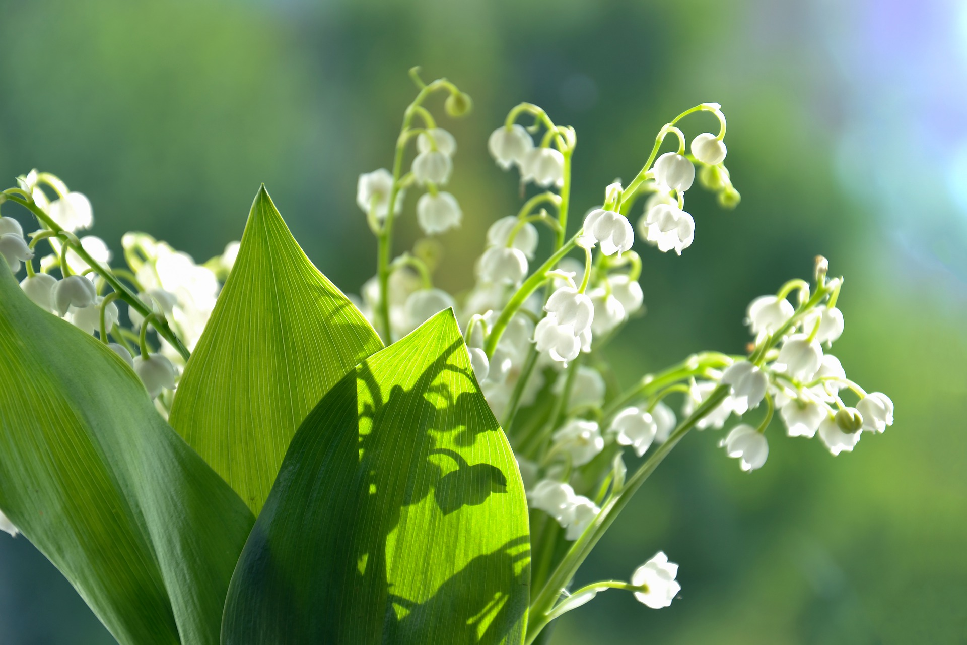 thank you flowers; lily of the valley