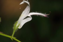 andrographis