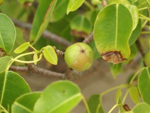 manchineel hippomane mancinella poisonous plant