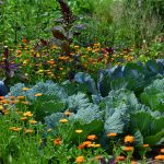 cabbage, garden perennial