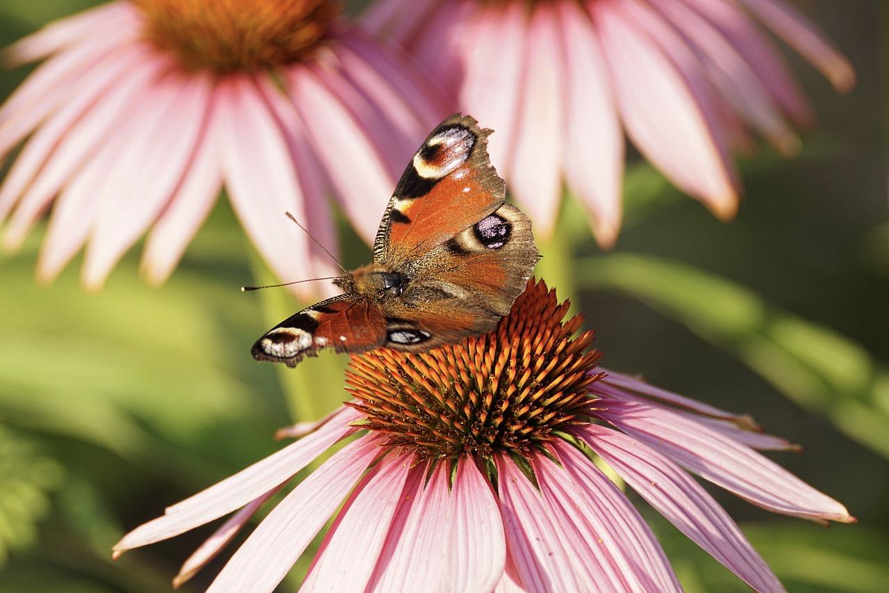 echinacea, perennial wildflower