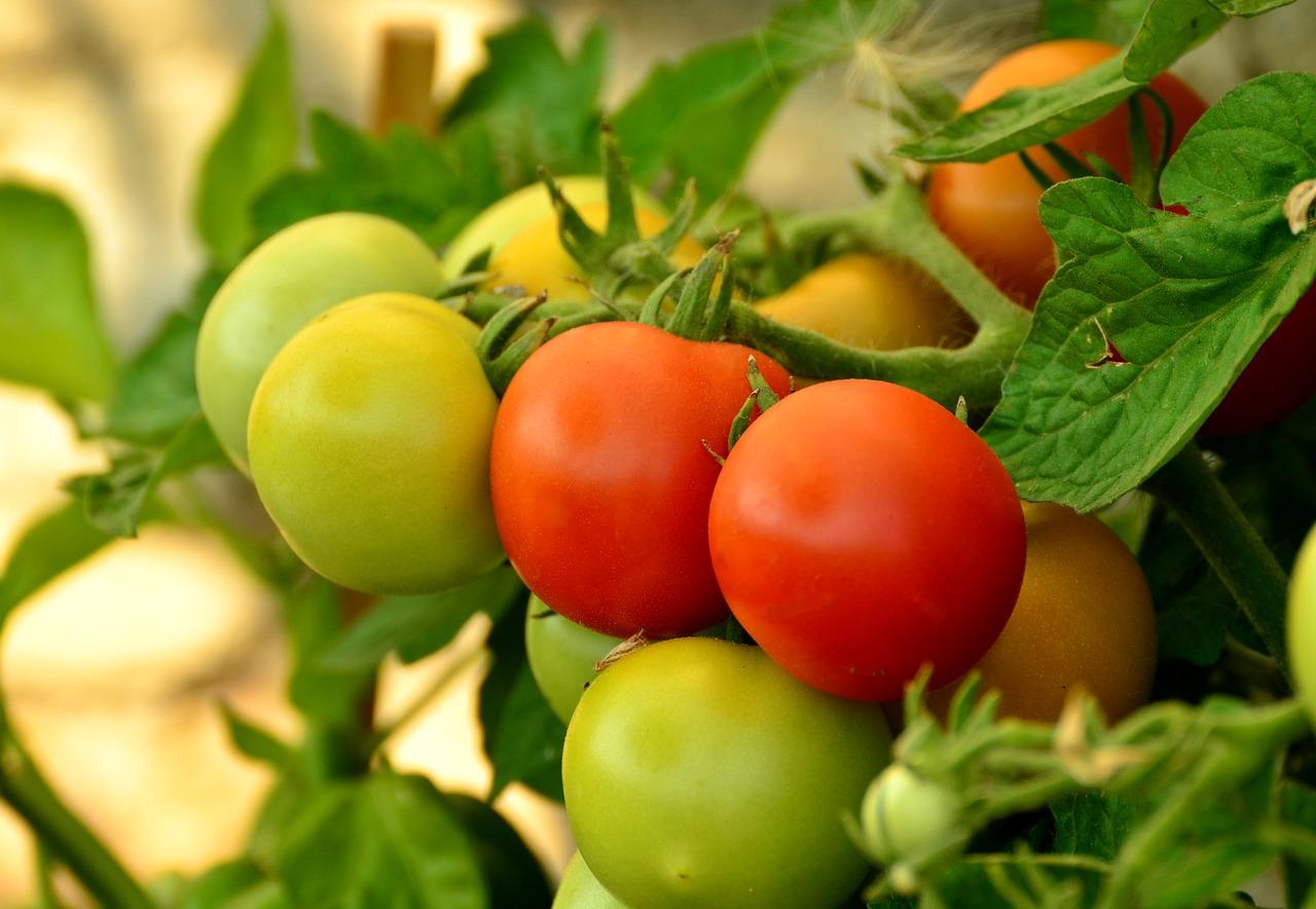 tomato, annual