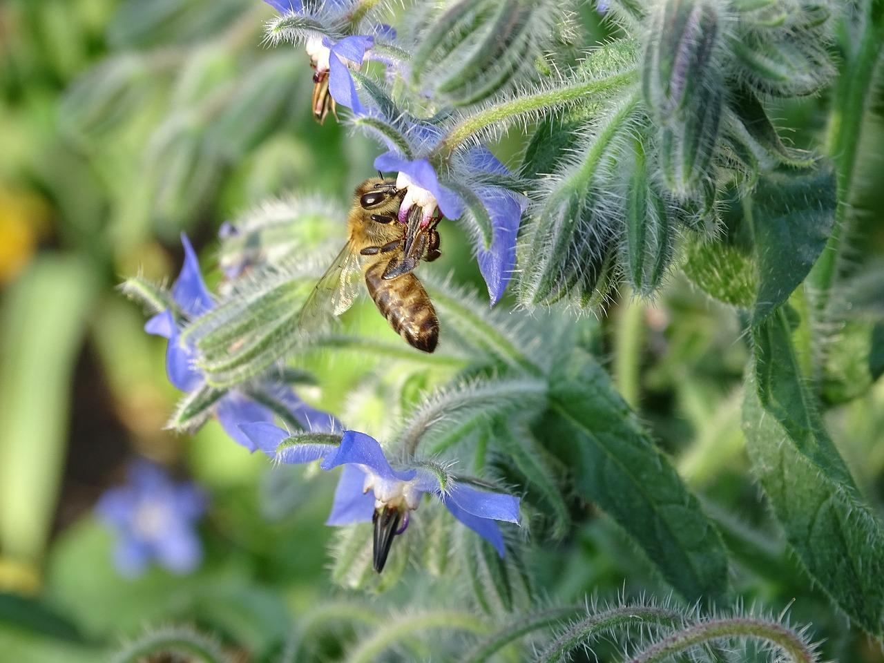 pollinator, borage
