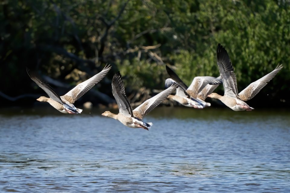 The researchers found that ducks, geese, swans, and other waterbirds are easily startled away by drones, which reduces their feeding time and wastes energy.
