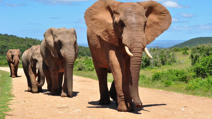 Researchers at Purdue University are describing how drawing attention to the significance of these trails may lead to the development of more effective conservation approaches to protect African elephants.