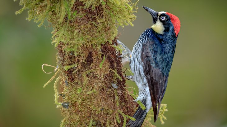 When a high-quality territory is up for grabs, acorn woodpeckers engage in days-long battles to claim it, according to a new study published by Cell Press