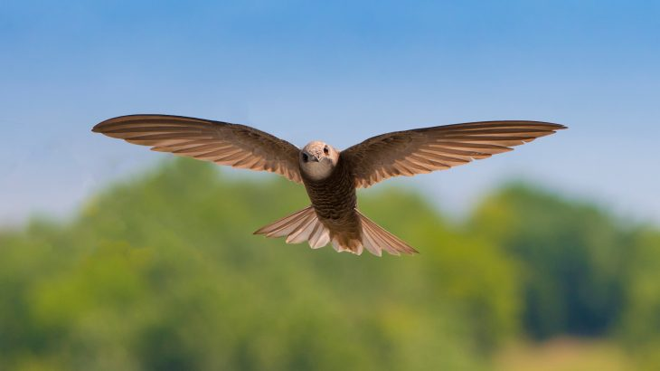 Common swifts are the most mobile terrestrial birds in the world, which likely explains why they have adopted a unique migration strategy that enables them constant access to food.